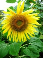 Sunflower - summer