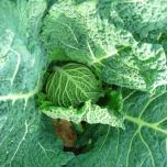 savoy cabbage - Summer/ Autumn