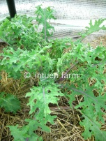 Russian Kale Late Summer to Auntumn