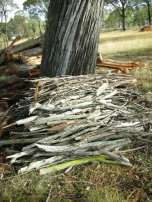 Eucalypts are good for kindling