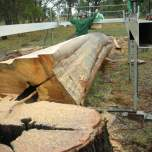 Milling the Red Stringy Bark Tree