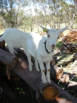 welcoming a pair of eight week old wethered boy goats