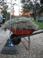 making hay for the goats