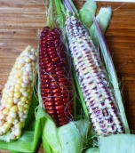 Multi coloured Corn
