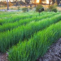 Growing Barley on a small plot